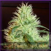 fantaseeds first lady cannabis seeds regular how to grow marijuana